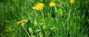 ogräs, maskros i gräsmatta